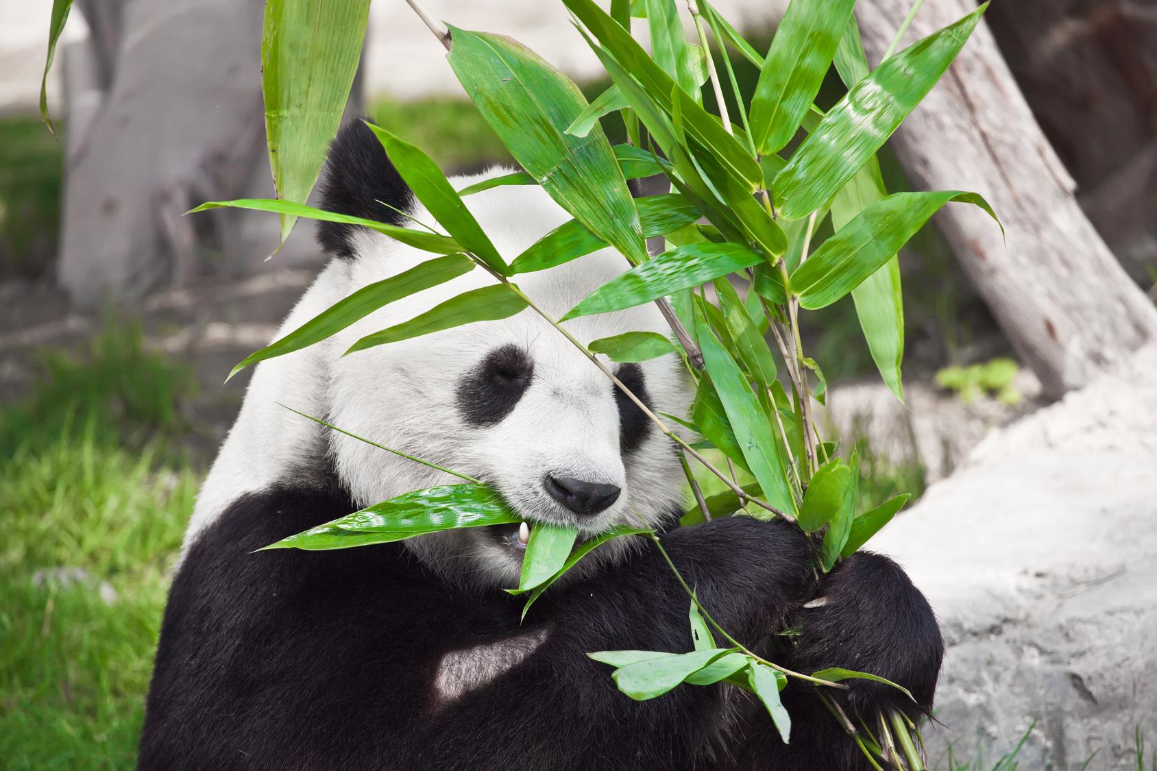 Der Panda hat Hunger