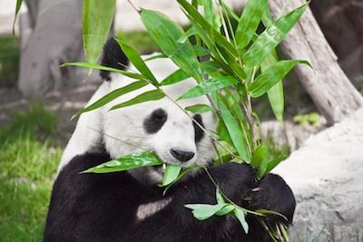 Der Panda hat Appetit